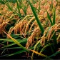 World Top Ten Rice Growing Countries
